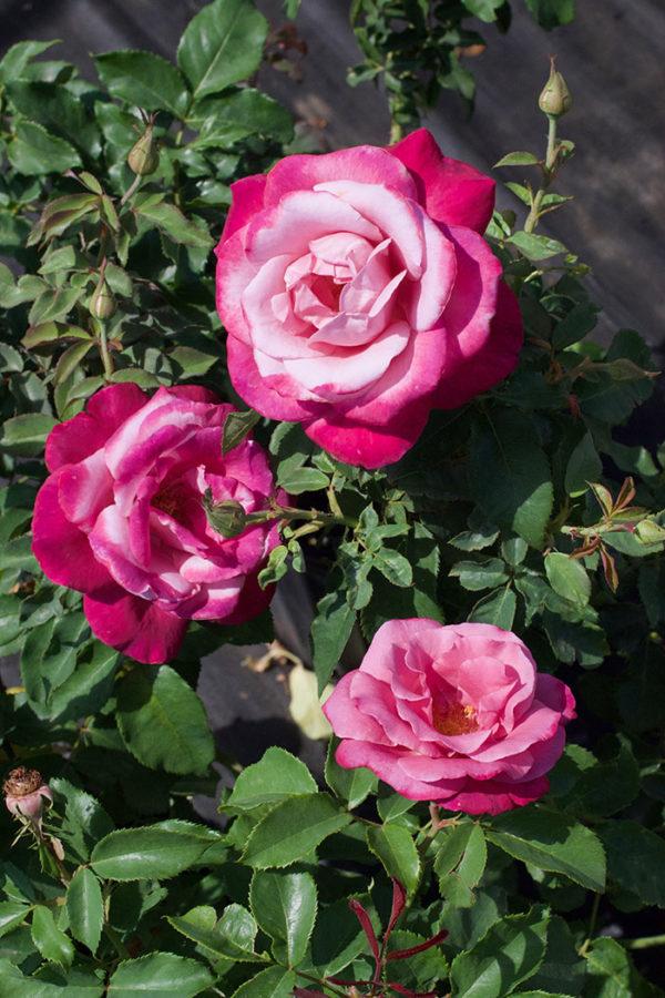 Fragrant Plum roses