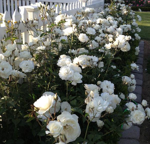 Iceberg rose bush