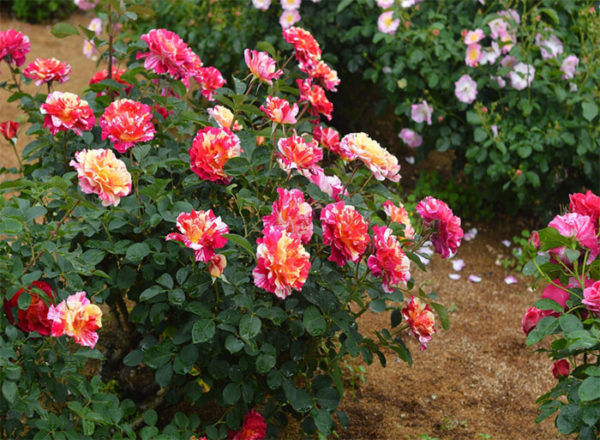 Maurice Utrillo™ rose bush