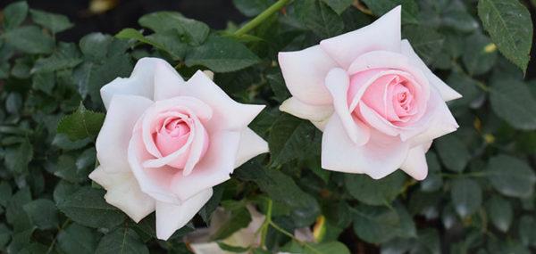 Meredith rose 3