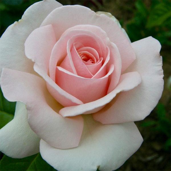 Meredith rose
