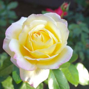 Peace rose 2