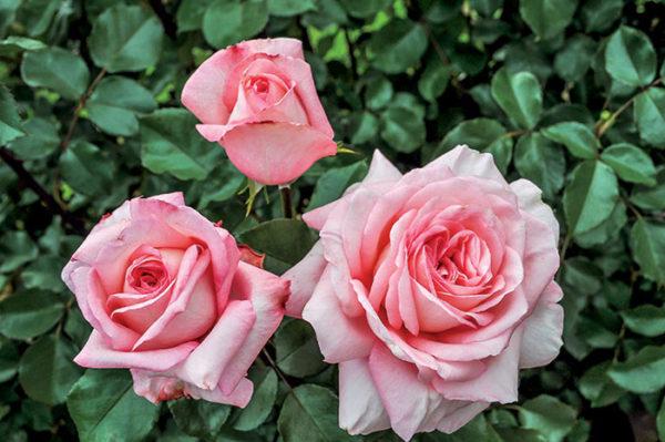 Savannah™ rose planted outside