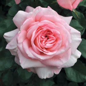 Savannah™ rose