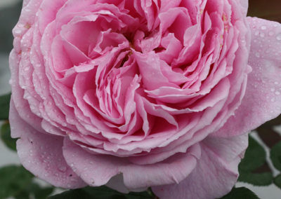 Summer Romance™ rose