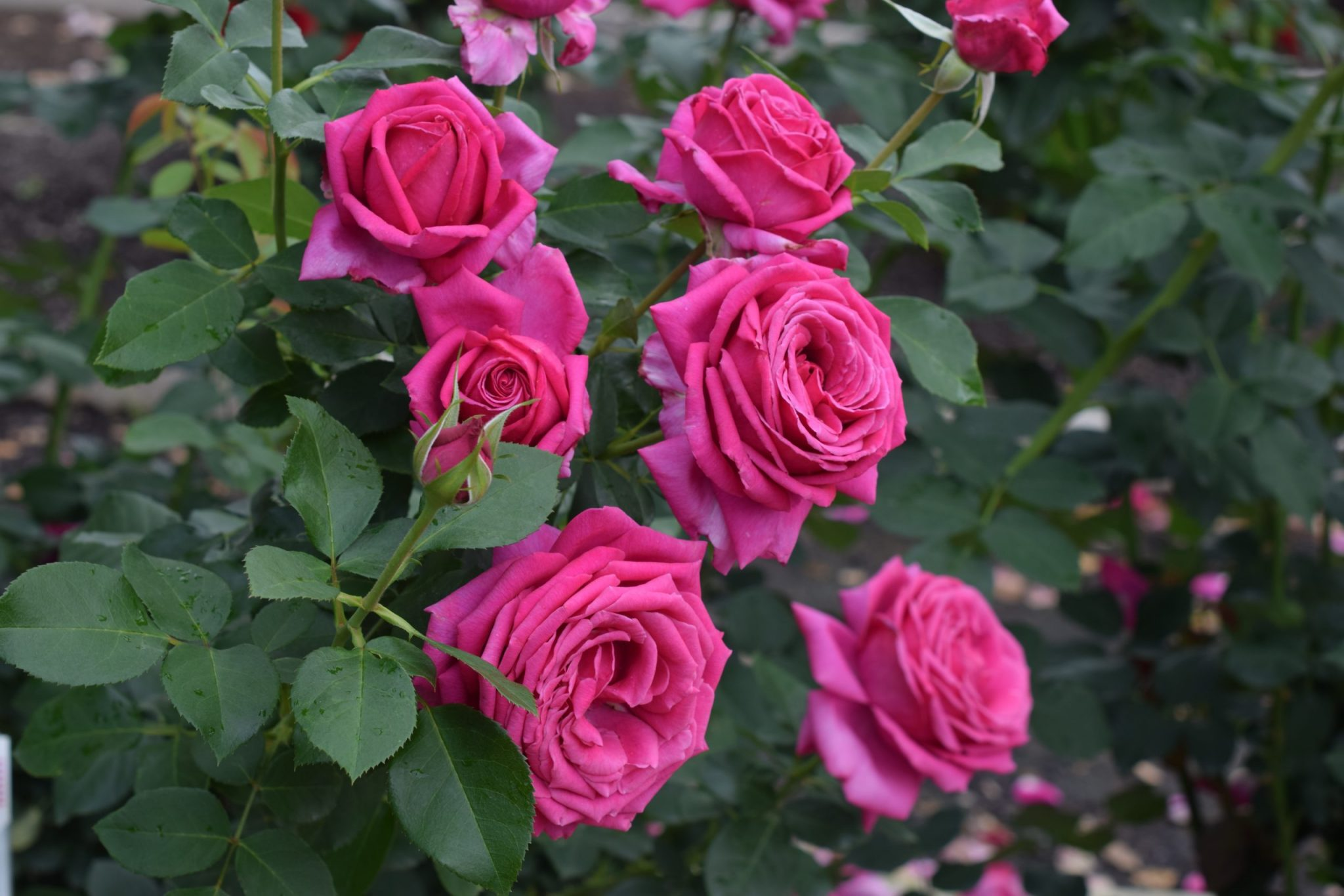 Miranda Lambert Rose Planted Outside