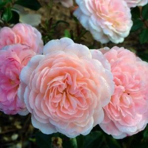 Apricot Drift Bare Root Roses