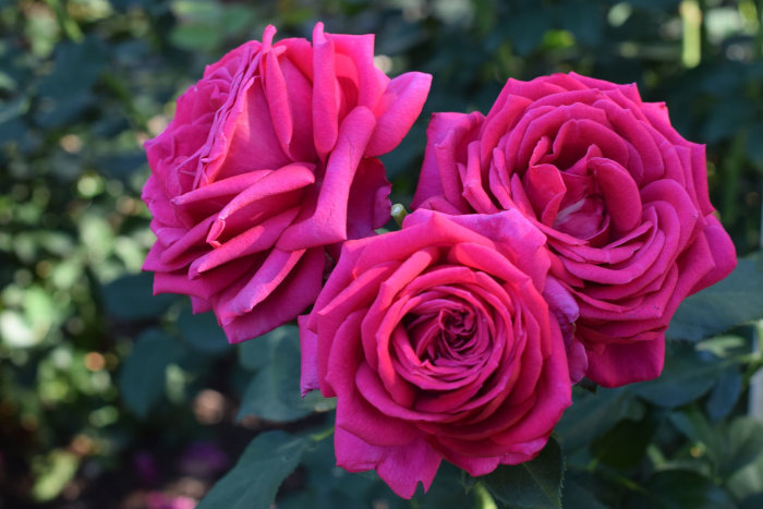Bare Root Roses Online - Rose Depot - Miranda Lambert Rose Home