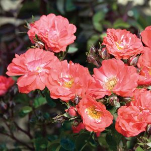 Coral Drift Bare Root Roses