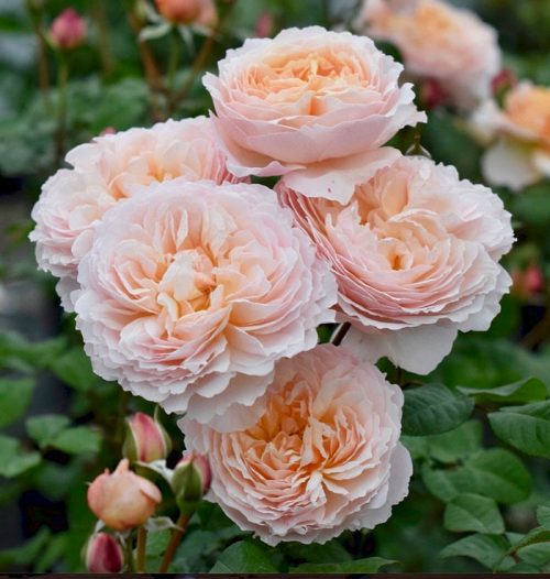 Moonlight in Paris Roses Online - Purchase Bare Root Roses - Rose Depot