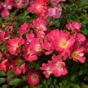 Pink Drift Bare Root Roses