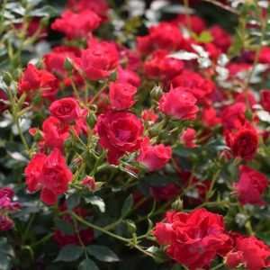 Red Drift Bare Root Roses