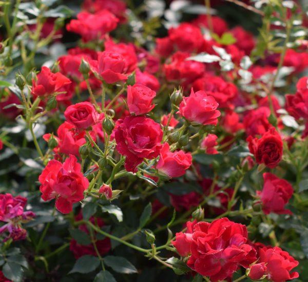 Red Drift Bare Root Roses
